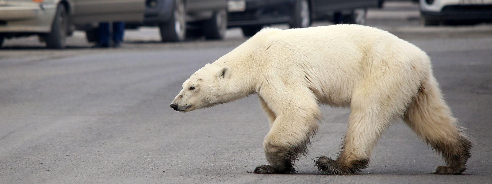 Um urso polar esfomeado foi recentemente avistado nos arredores da cidade russa de Norilsk.