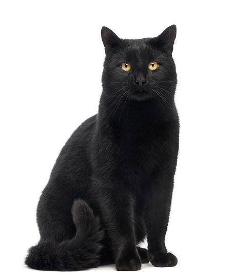 Ein Prachtexemplar von einem Kater, doch abergläubische Menschen wollen den Weg von schwarzen Katzen am liebsten nicht kreuzen.