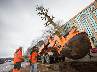 Über 50 Bäume werden mit einer speziellen Arbeitsmaschine entfernt.