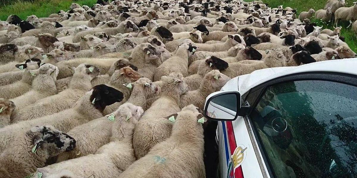 Sans doute le troupeau a-t-il voulu manifester toute son affection aux fonctionnaires de police...