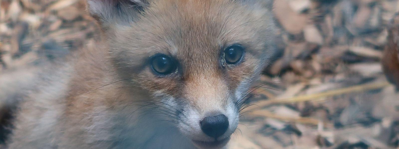 Le centre de soins pour la faune sauvage de Dudelange a déjà soigné plus de 3.000 animaux en 2019.