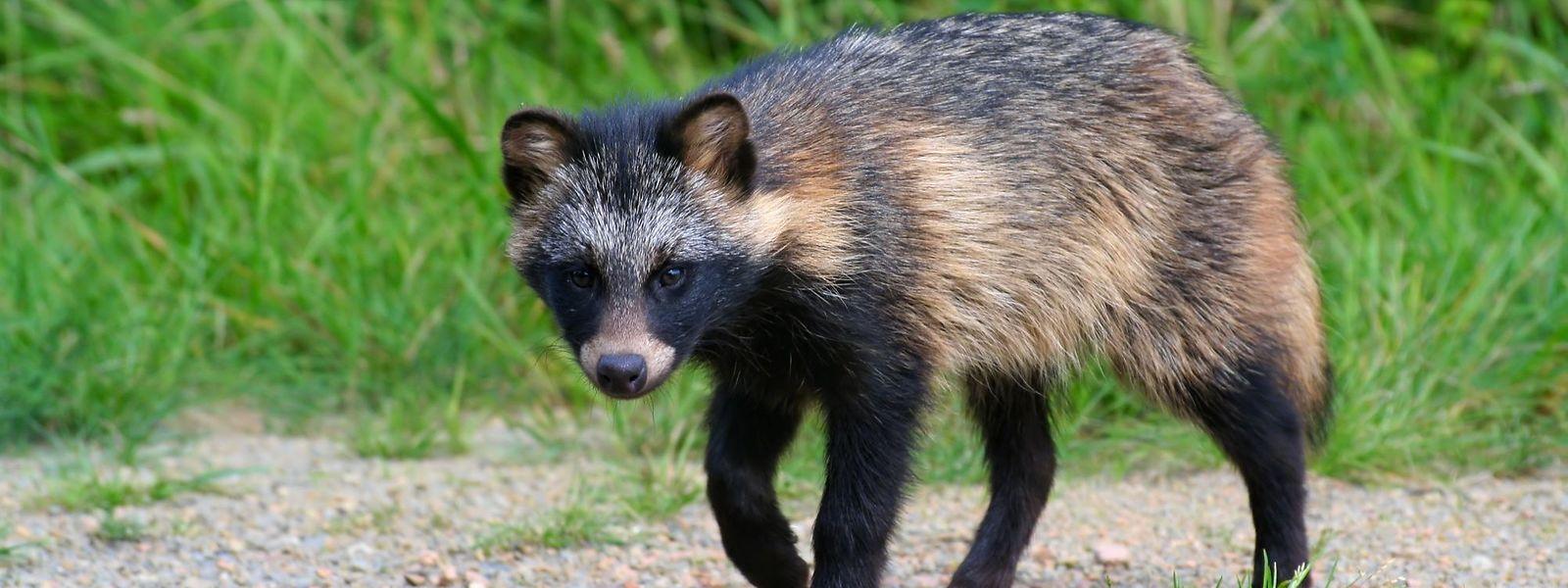 Der Marderhund könnte Sars-Cov-2 auf den Menschen übertragen haben.