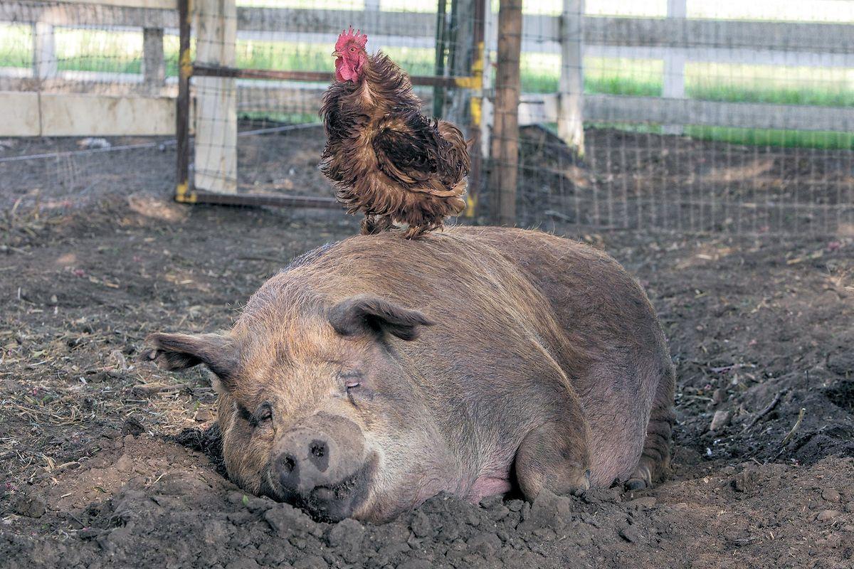 L'incroyable complicité entre le coq Greasy et la truie Emma témoigne d'une exploitation agricole en bonne santé.