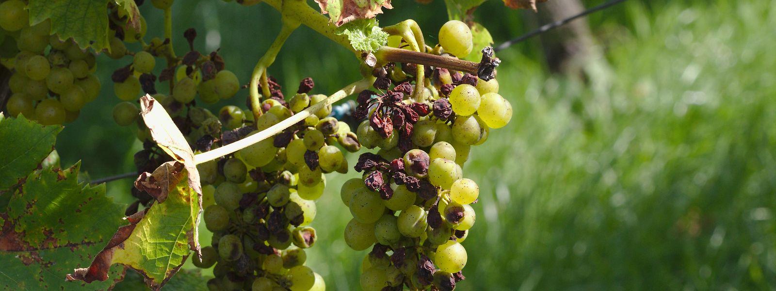 Les quelques raisins impactés par des maladies fongiques ou les grappes frappées par le mildiou ne sont pas si nombreux pour le moment.