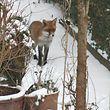 Ein Fuchs mit Winterfell im Wald.