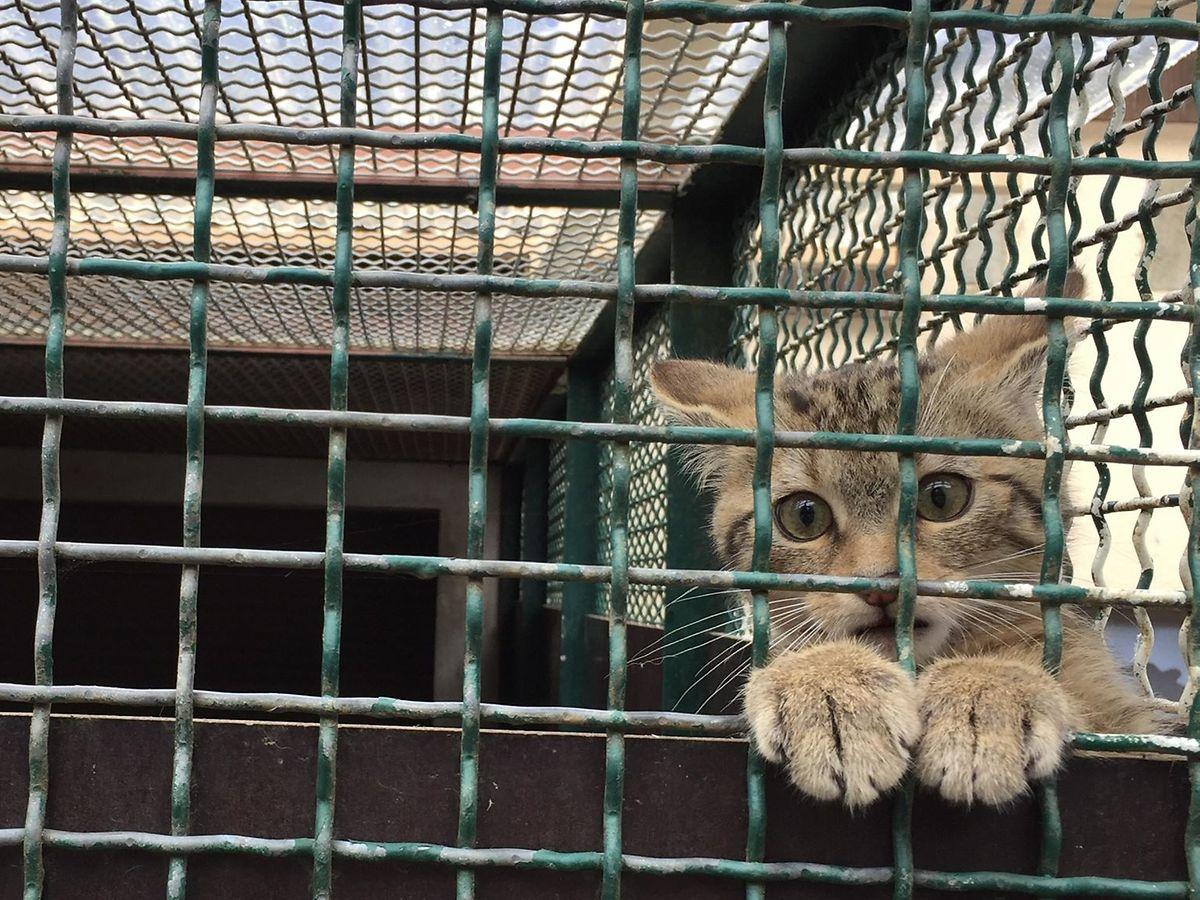Le félin, actuellement soigné à Dudelange, n'est pas très amical: rien de plus naturel, c'est un chat sauvage. Il sera bientôt relâché dans la nature.