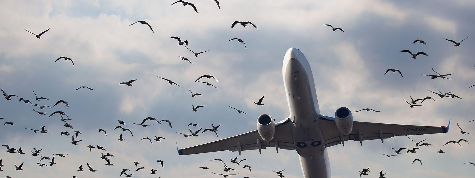 Die für den Lux-Airport gefährlichsten Vogelarten sind der Sperber, der Rabe, die Taube, der Mäusebussard und der Turmfalke.
