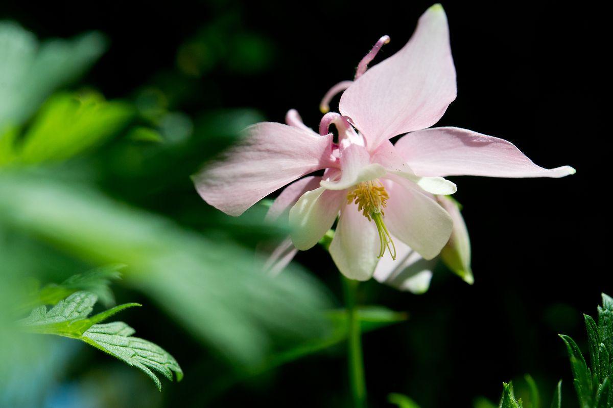 Die Akelei ist einGewächs für die schattigen Orte im Garten.