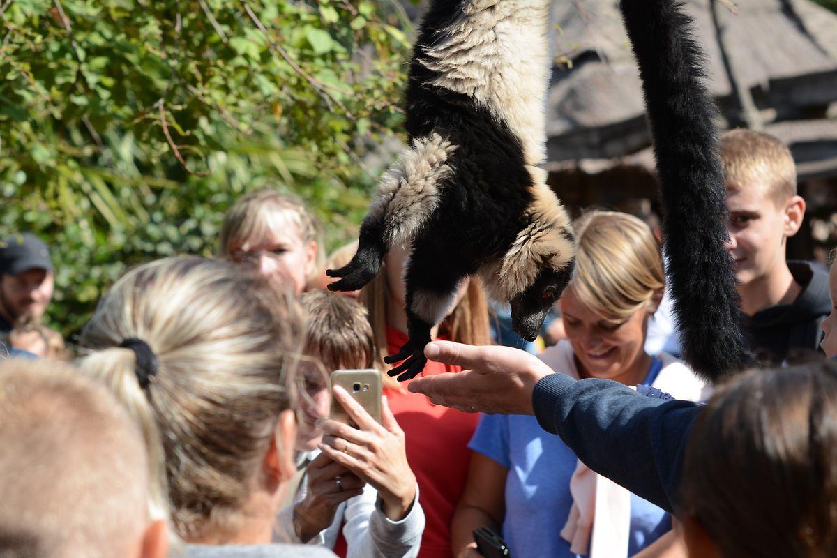 Die Lemuren freuen sich natürlich sehr, wenn sie von den Zoobesuchern gefüttert werden...