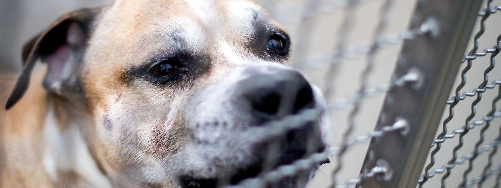 """Er biss zwei Menschen tot: Kampfhund """"Chico""""."""