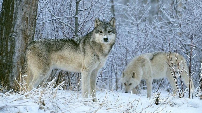 Wolves in Finland