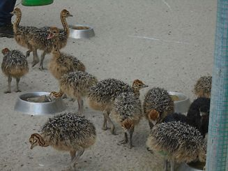 Young ostriches less than six months old are very fragile
