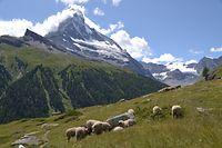 Die fotoscheuen Schafe würdigen das Matterhorn keines Blickes. / Foto: Frank WEYRICH