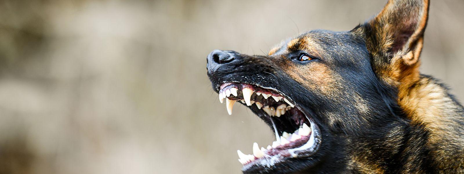 Am Freitag ereignete sich in Schifflingen ein Hundeangriff. Zwei Schäferhunde waren aus ihrem Gehege ausgebrochen.
