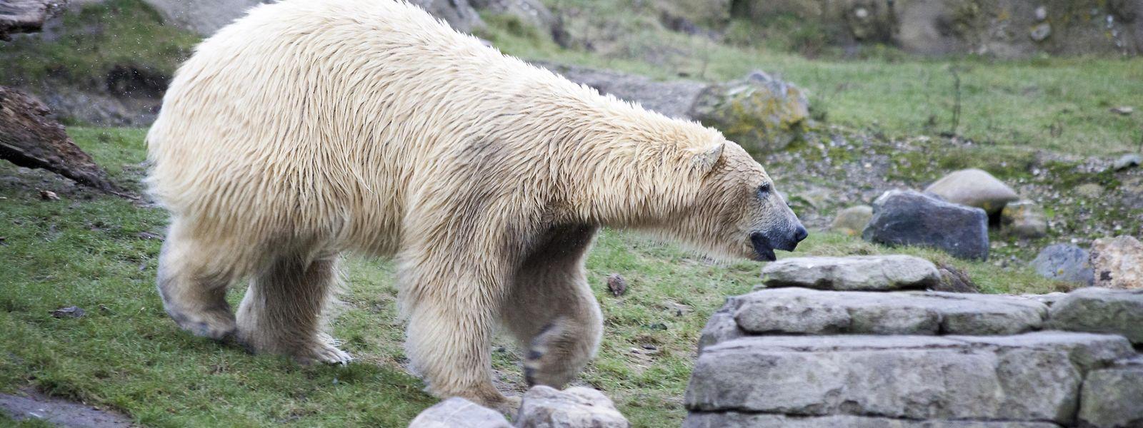 Der traditionelle Lebensraum der Eisbären wird immer kleiner: Hunger und Revierstreitigkeiten erhöhen das Konfrontationspotenzial.