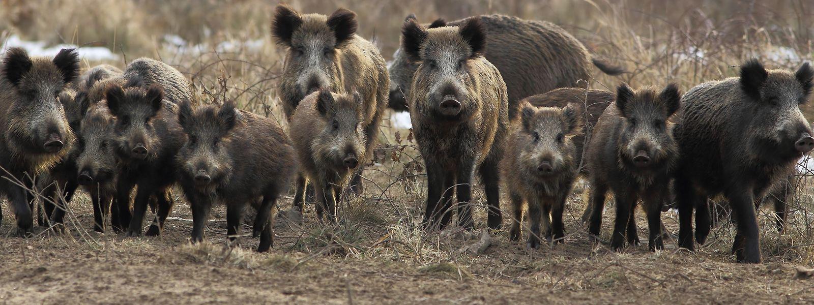 Infizierte Wild- und Hausschweine sterben meist innerhalb weniger Tage an der Krankheit.
