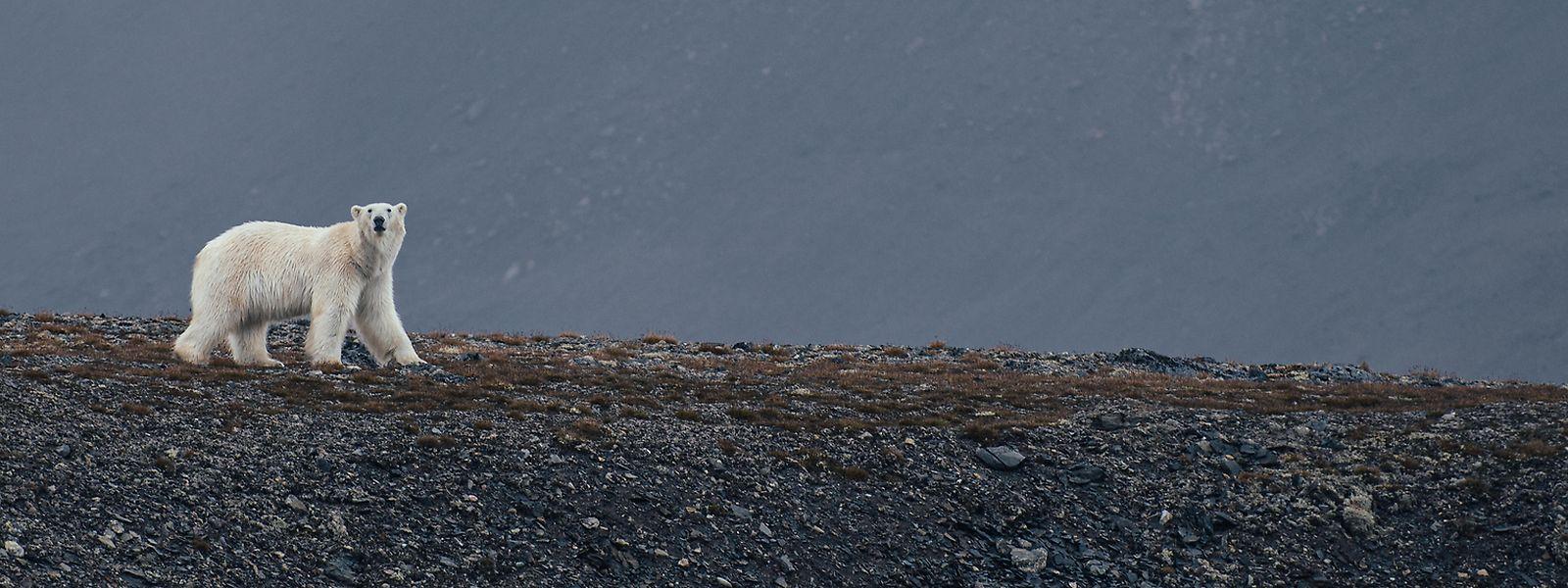 Rund 3000 Polarbären bevölkern das Svalbard-Archipel. Doch die Herrscher der Arktis sind bedroht.