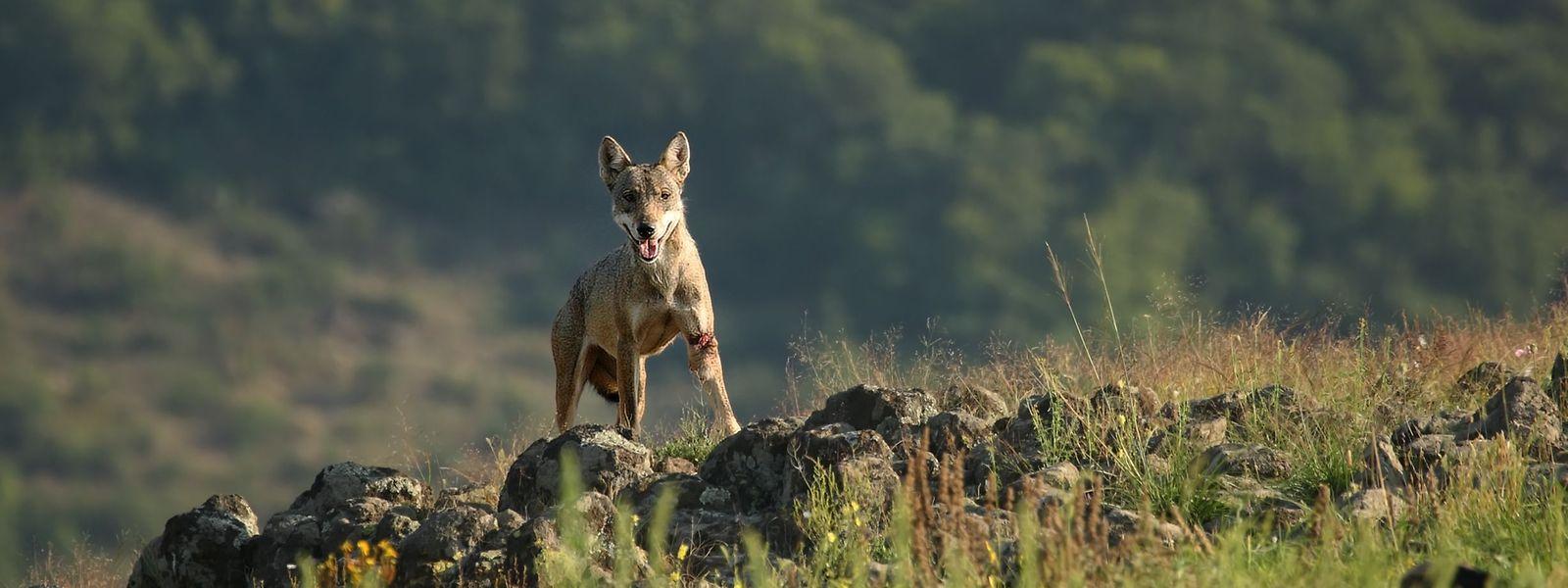 Der Europäische Wolf (lat. Canis lupus lupus) wird möglicherweise in den kommenden Jahren auch in Luxemburg wieder heimisch. Das Tier ernährt sich überwiegend von Rotwild, Hasen oder Wildschweinfrischlingen und hilft so bei einer natürlichen Regulierung der Arten.