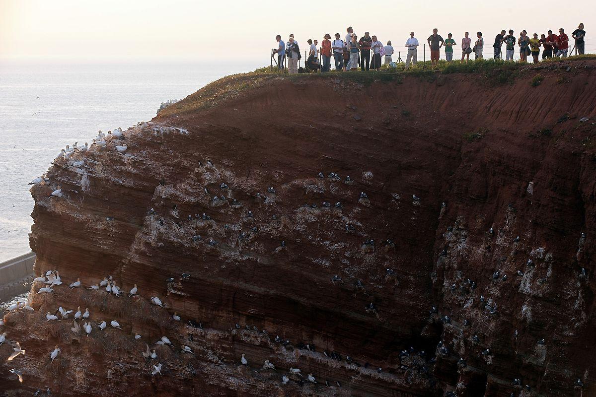 Nordseeurlauber und Vogelkundler beobachten Vögel auf dem Lummenfelsen der Hochseeinsel Helgoland. Der Lummensprung lockt wieder Vogelfreunde auf Deutschlands einzige Hochseeinsel. Dort stürzen sich die Küken der Trottellumme von dem bis zu 40 Meter hohen Vogelfelsen in die Nordsee.