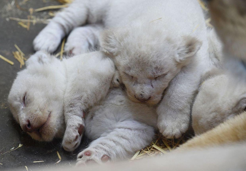 Die drei Löwenbabys im Zoo von Amnéville haben bisher noch keinen Namen, denn bisher ist ihr Geschlecht noch unbekannt.