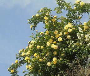 Giel Rousen bei bloem Himmel