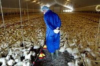A member of a team of Dutch veterinarians looks for bird flu-contaminated chickens on a farm after an outbreak of bird flu in the Deurne area, April 21, 2003. This farm's 90,000 consumption hens were gassed as a precautionary measure because the farm is located within a 3 km zone of another contaminated  farm in the northern part of Limburg. The virus killed a Dutch veterinarian last week, but the government has now confirmed that it has not mutated into a SARS-like killer disease.        NETHERLANDS OUT   REUTERS/Michael Kooren