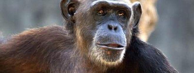 Klüger als bislang angenommen: Einer neuen Studie zufolge können Schimpansen Dinge im Voraus planen.