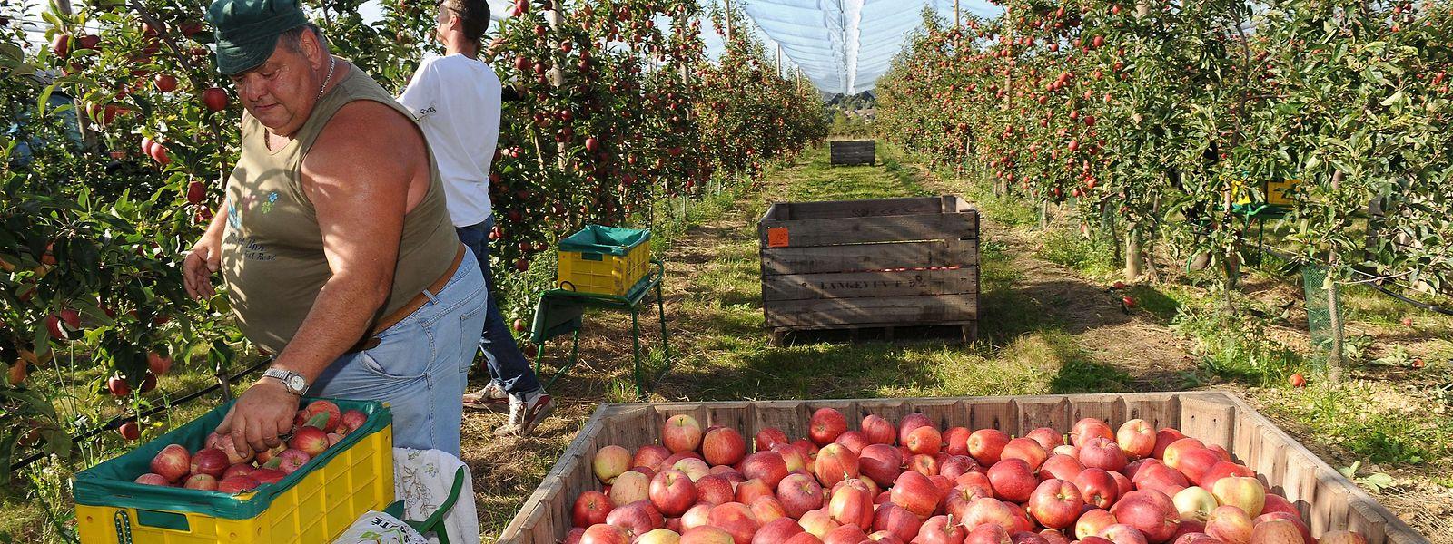 La pomme reste parmi les fruits les plus appréciés des jeunes Luxembourgeois. Mais derrière la clémentine et la banane.