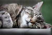 """ARCHIV - 13.07.2014, Nordrhein-Westfalen, Düsseldorf: Eine Katze schläft auf einem Gartentisch. Können Katzen und Hunde das neue Coronavirus bekommen? (zu""""Mieze, Bello und das Virus - für Forscher kein Grund zur Sorge"""") Foto: Martin Gerten/dpa +++ dpa-Bildfunk +++"""