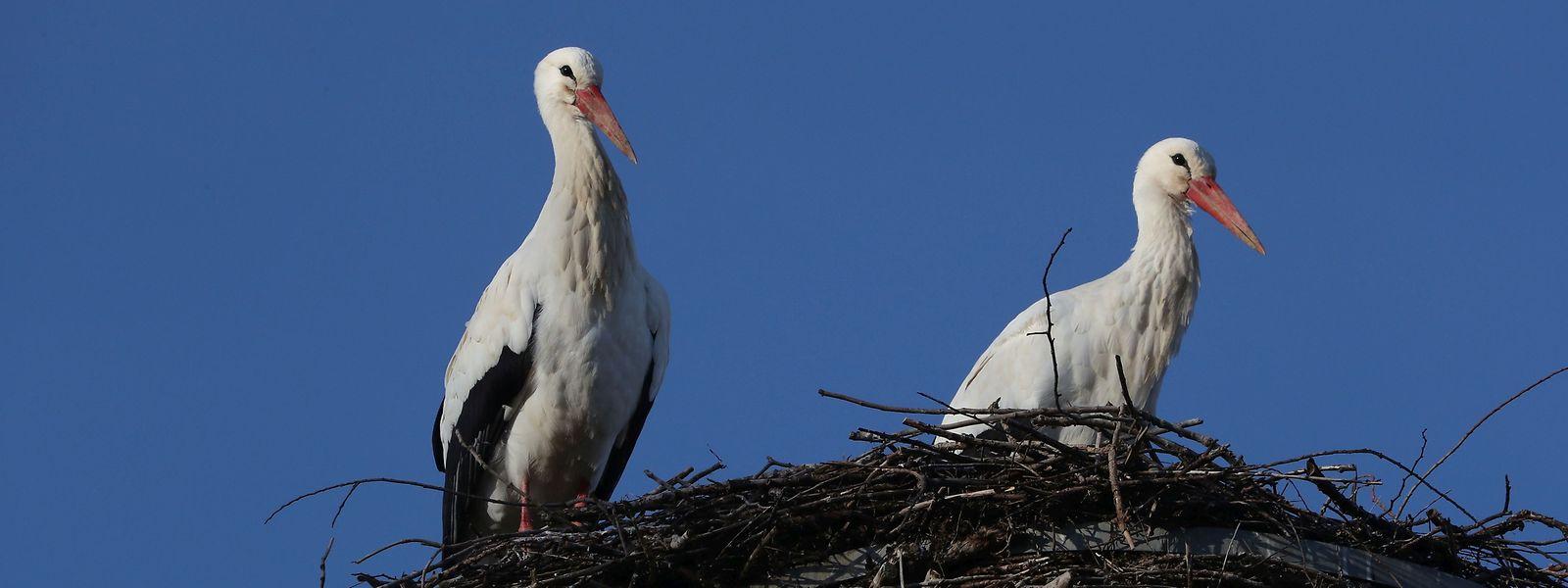 Ein Erfolg für den Naturschutz war die Rückkehr des Weißstorchs. Er brütet seit 2013 wieder in Luxemburg.