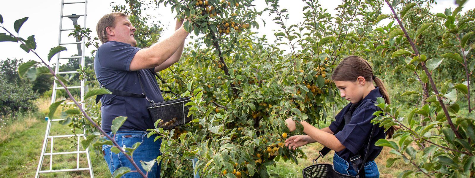 L'aide de sa fille Anne-Marie est la bienvenue tant les fruits sont nombreux cette année sur les mirabelliers de Jean-Claude Muller.
