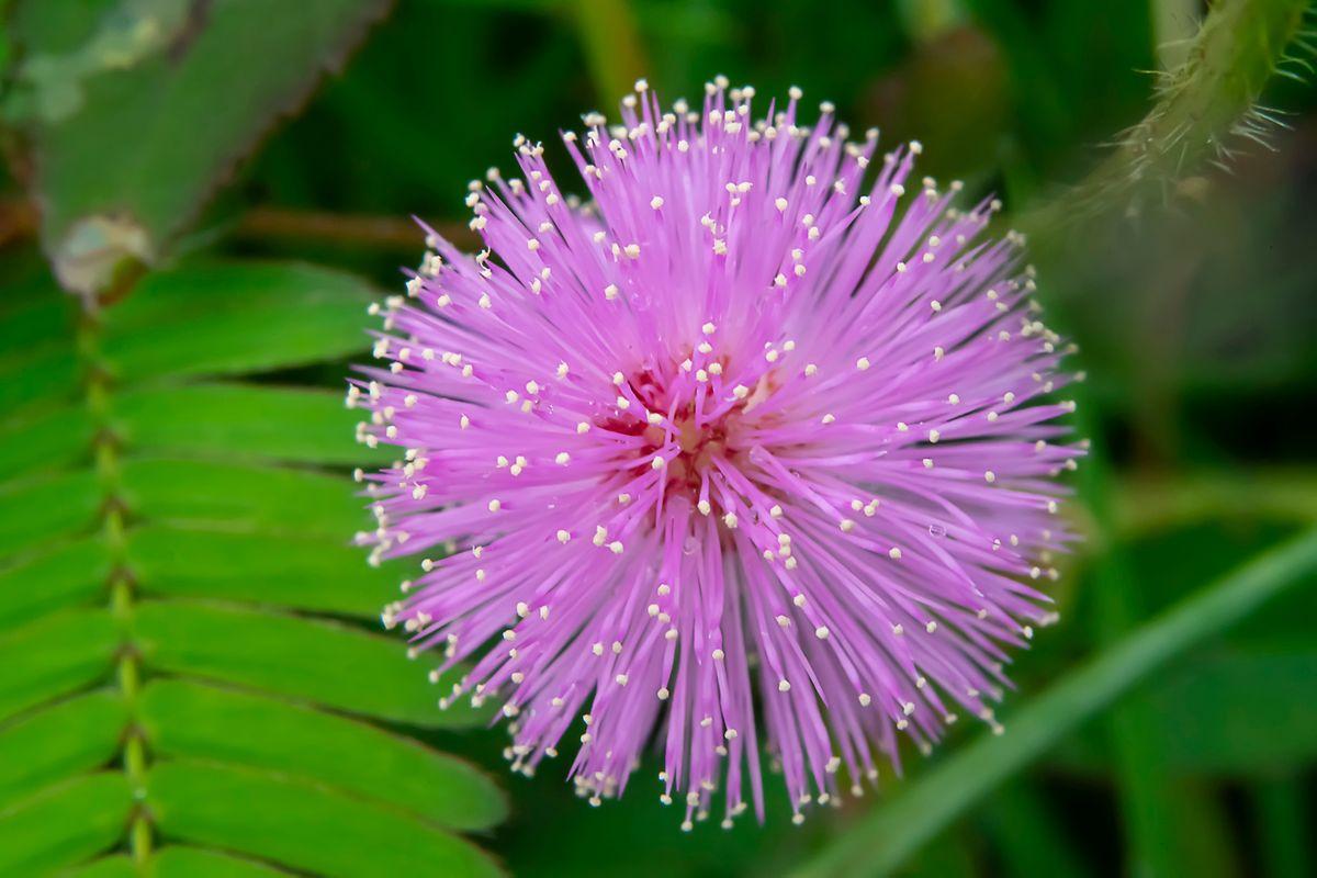Schon im 18. Jahrhundert erforschten Wissenschaftler das Verhalten der Blattbewegungen der Mimose.