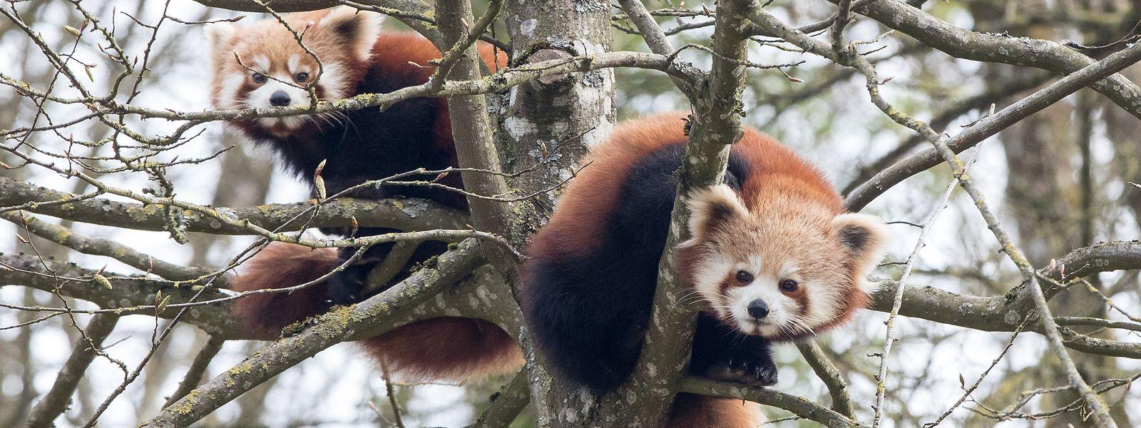 Die zwei Roten Pandas gehören zu den neuen Attraktionen im Märchenpark.