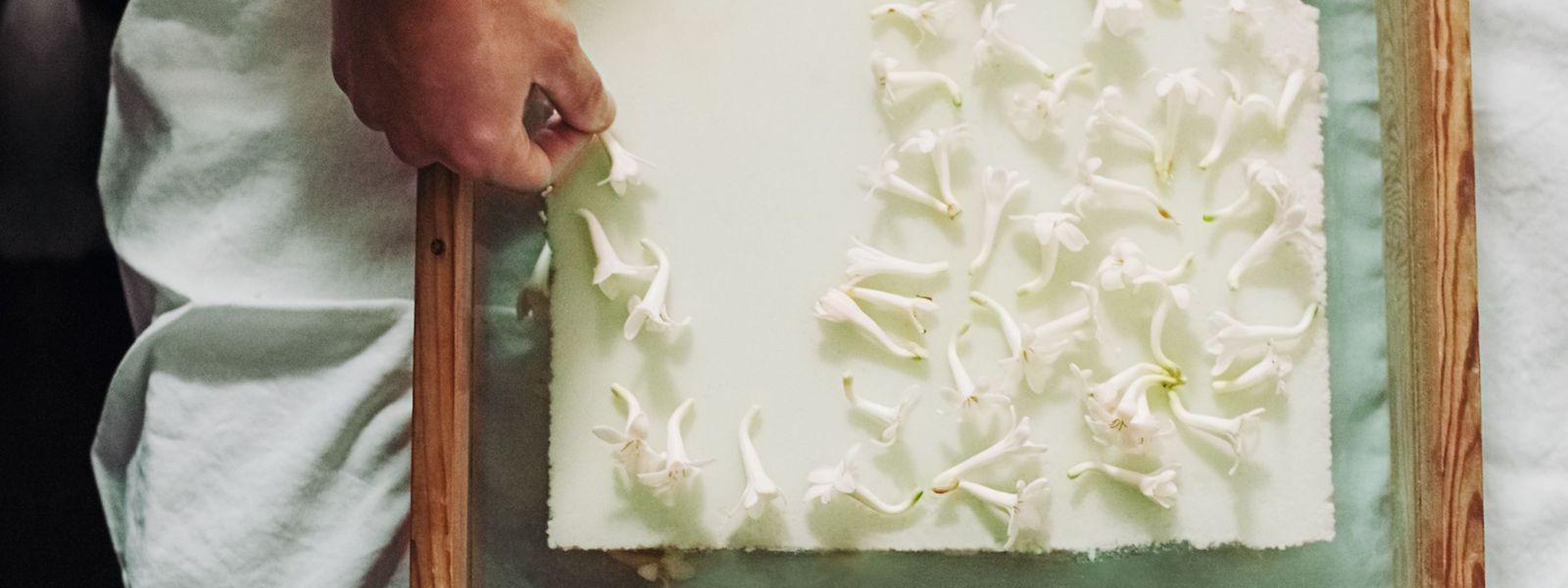 """Duftgewinnung auf die althergebrachte Art: Hier werden Tuberose-Blüten verarbeitet - das Ergebnis trägt später den Namen """"J'adore - Eau de Parfum Infinissime""""."""