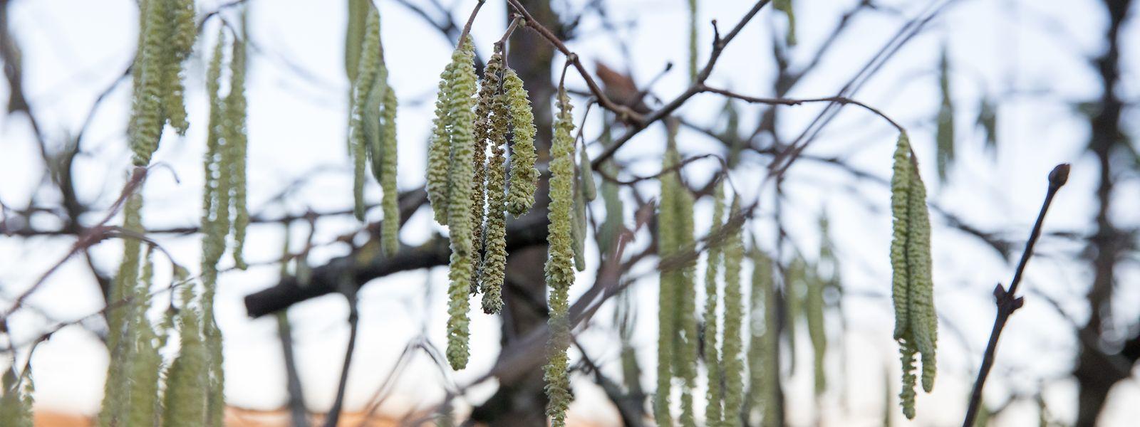 Bereits im Januar stehen überall im Land Haselnusssträucher in voller Blüte.