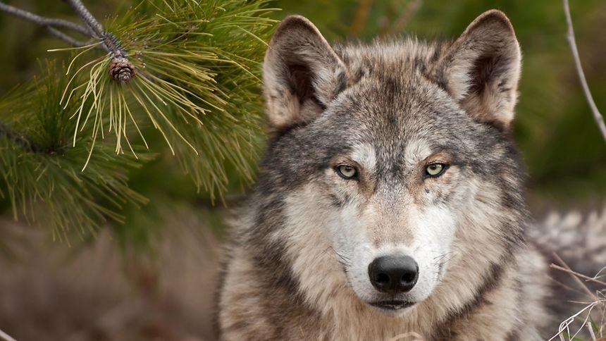 Wie geht ein kleines, teilweise dicht besiedeltes Land mit einem Wildtier wie dem Wolf um?