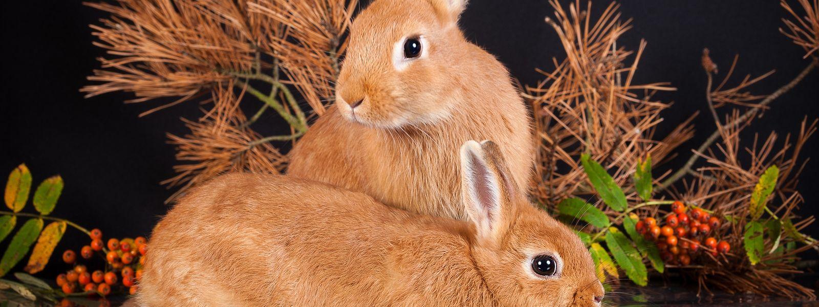 Zwergkaninchen gelten als beliebte Haustiere.