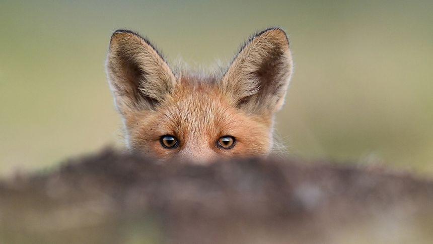 Seit 2015 dürfen hierzulande in den Wäldern und Feldern keine Füchse mehr gejagt werden.