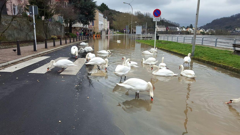 Auf der Straße in Wasserbillig, die an der Mosel entlang führt, machten es sich am Donnerstag Schwäne gemütlich.