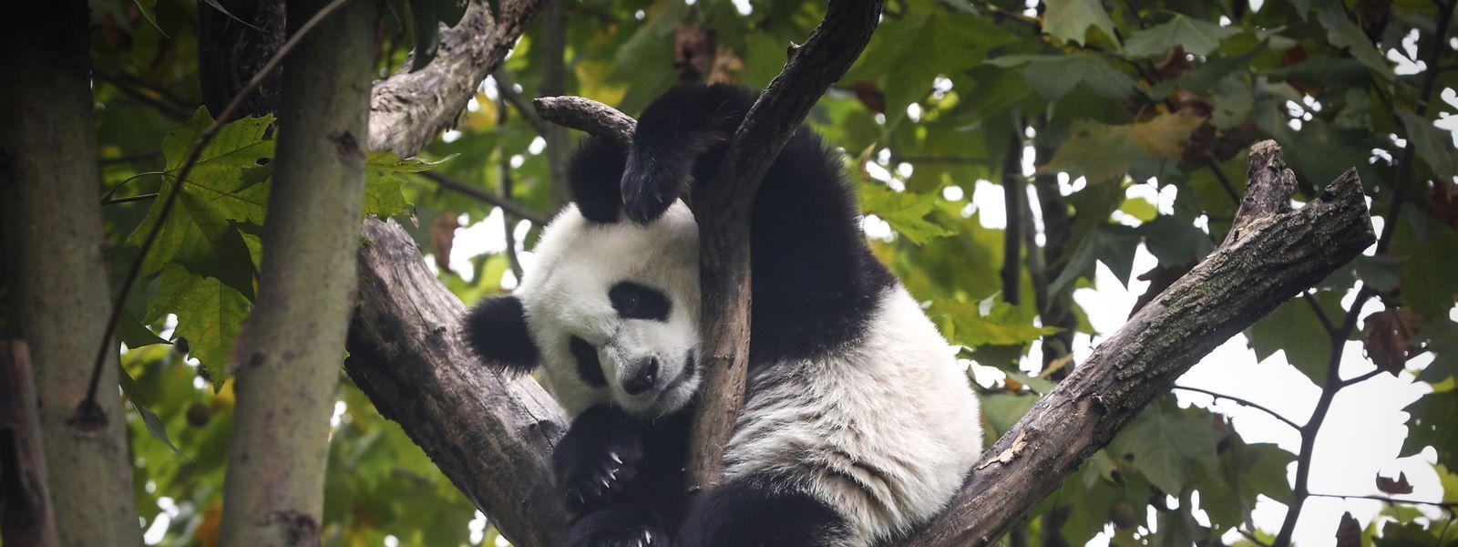 Pandabären sind seit Jahren vom Aussterben bedroht.