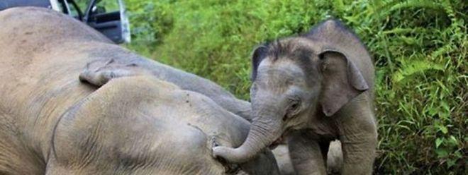 Insbesondere die Zahl der eher seltenen Waldelefanten geht laut WWF dramatisch zurück.