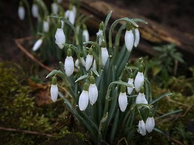 Snowdrops spotted in Limpertsberg.