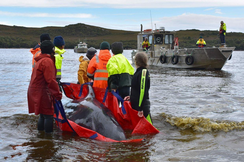 Ein Wal wird in Macquarie Harbour zurück in tieferes Gewässer gebracht.