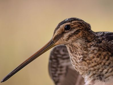 The snipe, pictured, is a typical migratory bird which spedns time in the wetlands at Haff Réimech and Schlammwiss