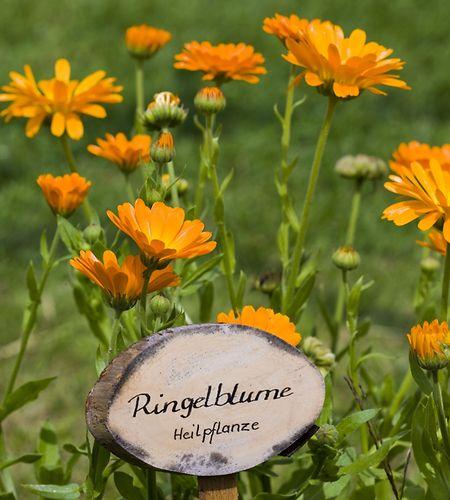 Heilkräuter sollten bei der Ernte einen möglichst hohen Anteil der wertvollen Inhaltsstoffe haben. Daher erntet man Ringelblumen erst auf dem Höhepunkt der Blüte.