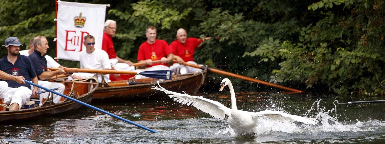 """Während des sogenannten """"Swan Upping Census"""" werden die alle Schwäne auf der Themse gezählt."""