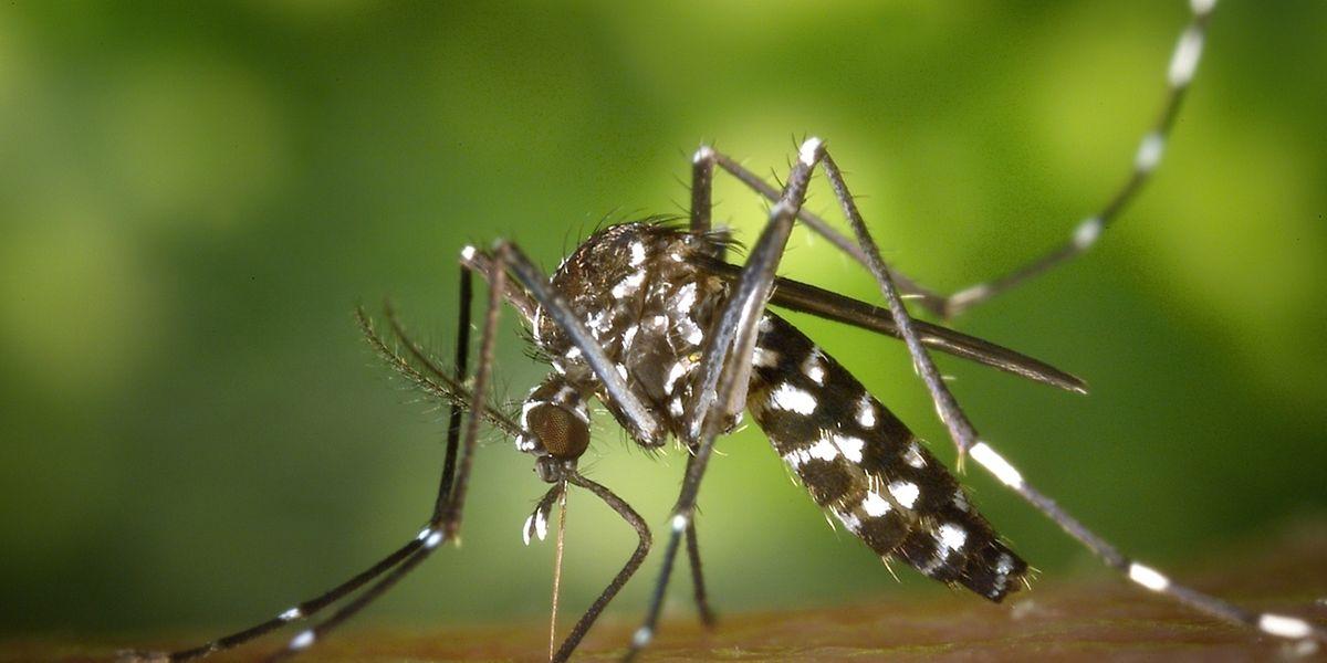 Gefährliches Raubtier: Vor allem die Asiatische Tigermücke (Aedes albopicts) breitet sich derzeit stark aus.