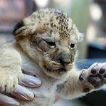 Nascimento surpresa de duas crias de leão no Zoológico de Amnéville