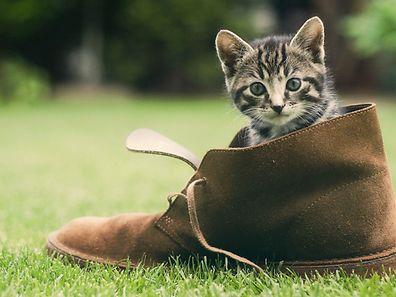 En plus de rendre le micro-puçage des chats obligatoires, la nouvelle loi pousserait également les propriétaires à faire stériliser/castrer leurs animaux