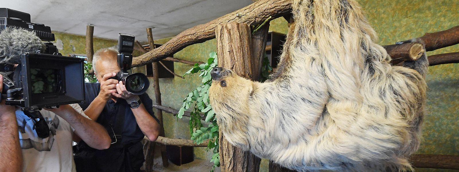 Ein Fotograf und ein Kameramann stehen vor dem Faultier Paula im Zoo in Halle/Saale.
